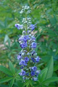 Chasteberry plant or Vitex agnus-castus